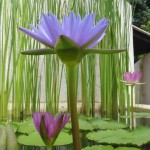lotus Bali