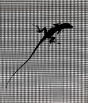 Lizard Florida 2011