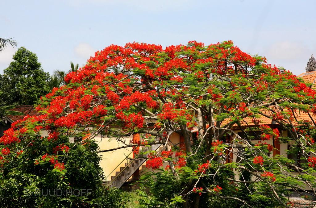 Flamboyant Bali