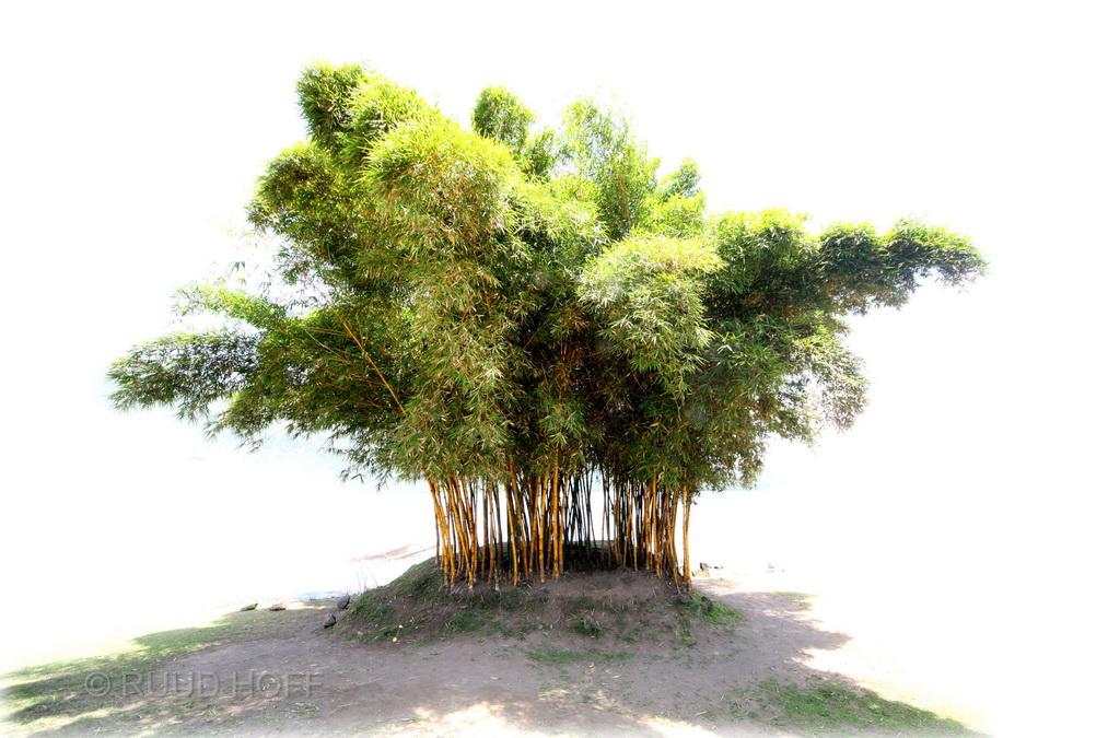 Bamboo bush Bali