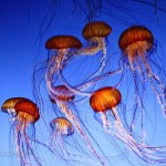Jellyfish Monterey